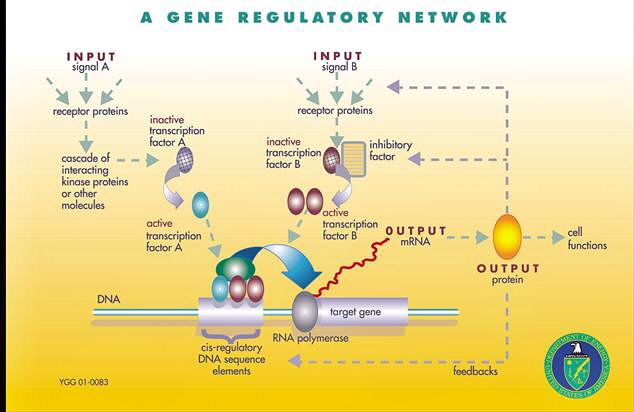 The Genetic Landscape of a Cell GRN